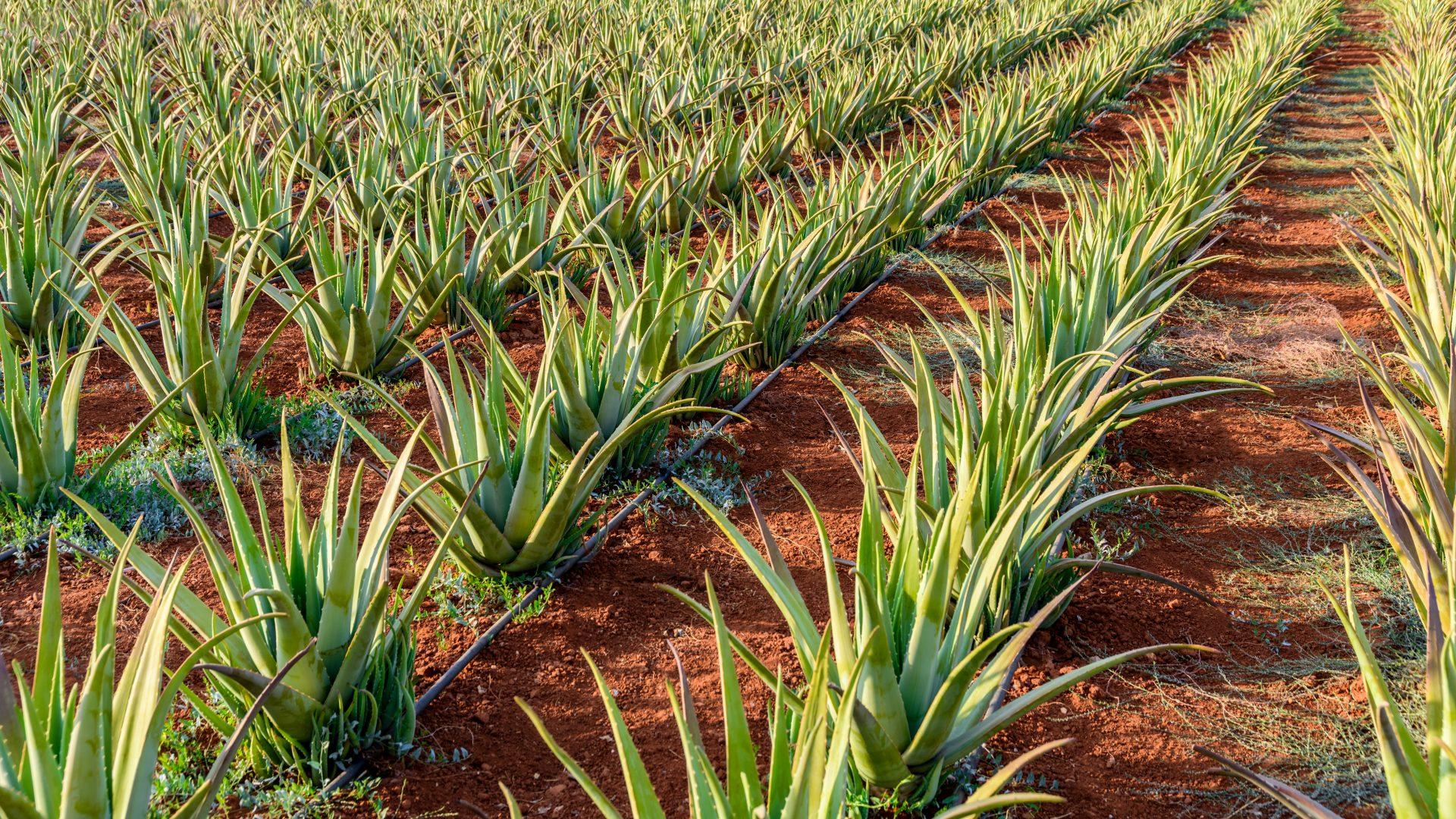 Echte Aloe Vera I Anbau I Plantagen I Esther Jaray